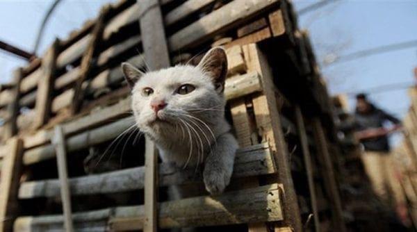 Κίνα: Πάνω από 2.000 γάτες προορίζονταν για… γεύμα σε εστιατόρια!