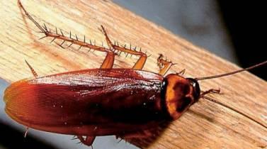 Αυστραλία: Επέμβαση για να βγάλουν κατσαρίδα από αυτί ανθρώπου