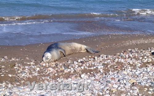 Ρόδος: Μια φώκια στην παραλία της Ιξιάς! Φωτογραφίες