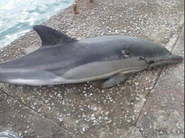 Νεκρό δελφίνι εντοπίστηκε στην Καρδάμαινα της Κω