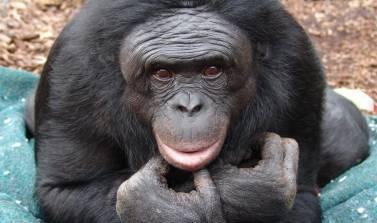 Κονγκό: Χιλιάδες χιμπατζήδες εντοπίστηκαν σε παρθένα ζούγκλα (vid)
