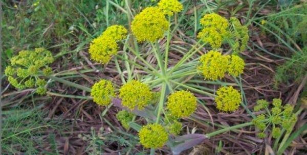 Θάψια: Ένα φυτό της Ελληνικής υπαίθρου όπλο κατά του καρκίνου!