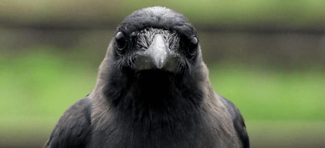 crow-660