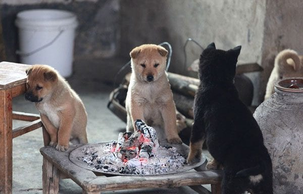 Αξιαγάπητα κουτάβια ζεσταίνονται μπροστά στη φωτιά! Γαβγίζουν όταν σβήνει