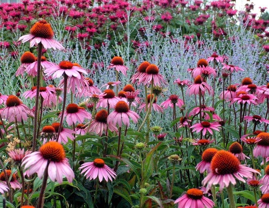 echinacea-to-votano-fainomeno
