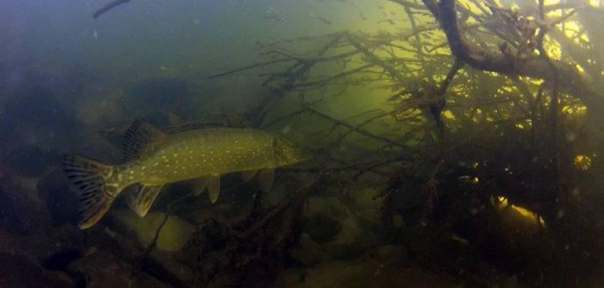 pike-fish-660