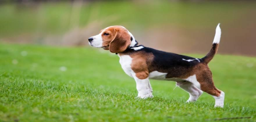beagle_0