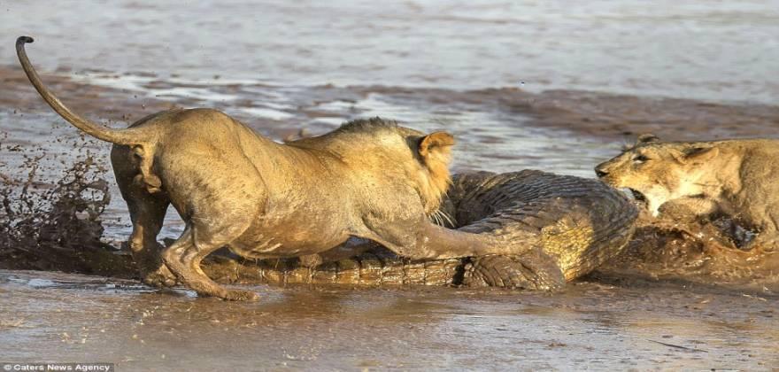liontaria-krokodeilos