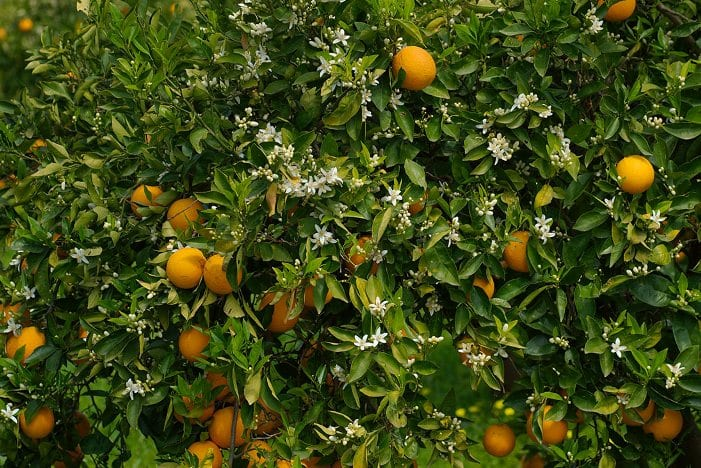 orange_tree_portokalia