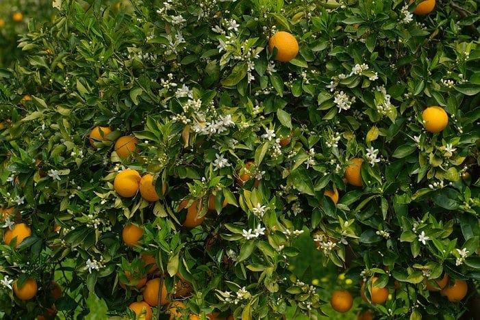 orange_tree_portokalia