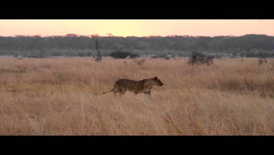 sesil-lion