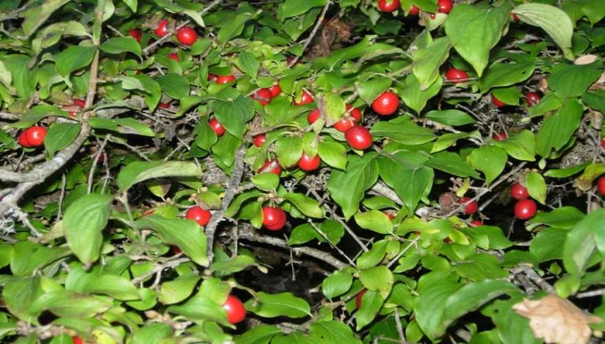 κρανιά φυτό