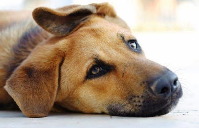 moquillo-en-perros-sintomas-y-tratamiento