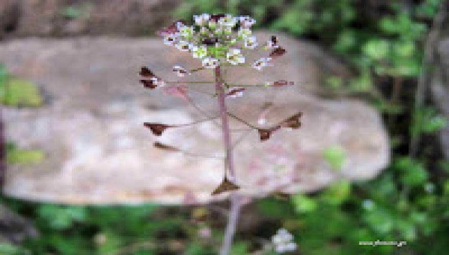 Capsela bursa-pastoris (L)-Flower
