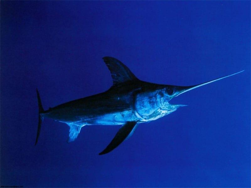 swordfish-xiphias-gladius-800px