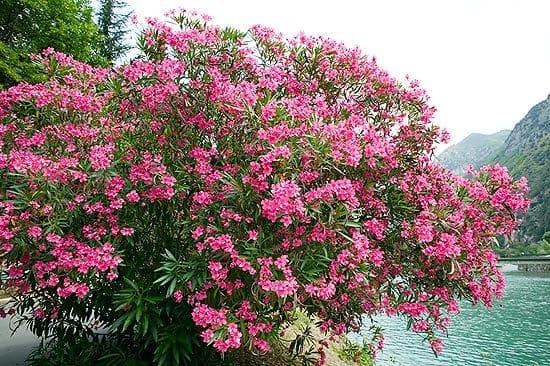 550x366xjpg_Nerium_oleander_c_Giuseppe_Mazza.jpg.pagespeed.ic.Z0OtTyIfRo