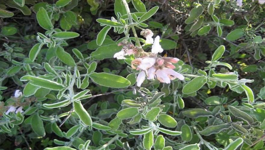 faskomilo-to-votano-tis-athanasias-salvia-fruticosa