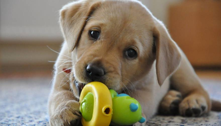 labrador retriever_1