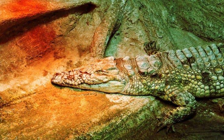 Γνωρίστε τον πορτοκαλί κροκόδειλο των σπηλαίων