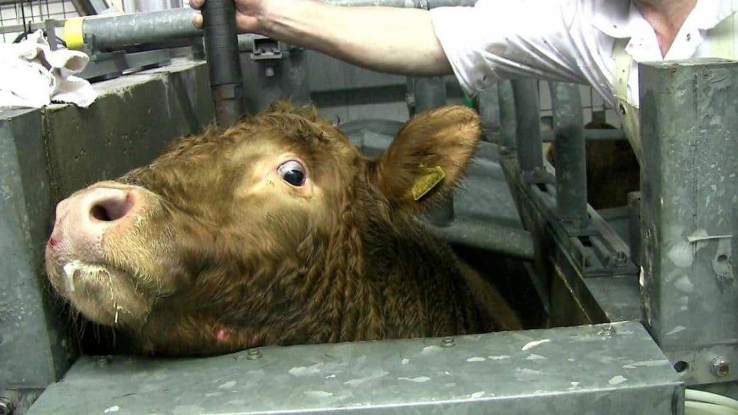 e361f51e1b Κρυφές κάμερες σε σφαγεία αποκαλύπτουν βασανιστήρια ζώων με πλήρεις τις  αισθήσεις τους (βίντεο)