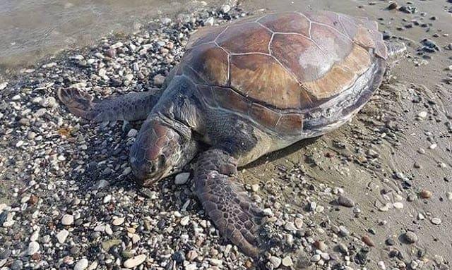 Νεκρή θαλάσσια χελώνα στην Πάτμο