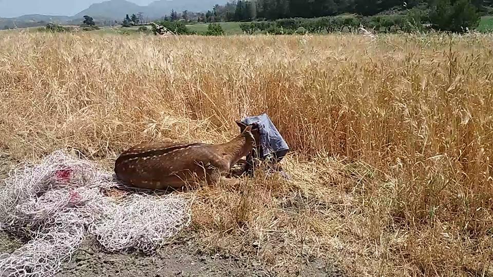 Ελάφι παγιδεύτηκε σε δίχτυα στην Απολακκιά – Δείτε σε βίντεο την διάσωση του