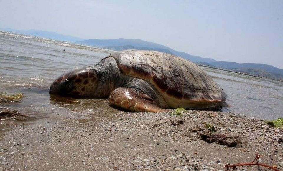 Εντοπισμός νεκρής θαλάσσιας χελώνας στην Κω