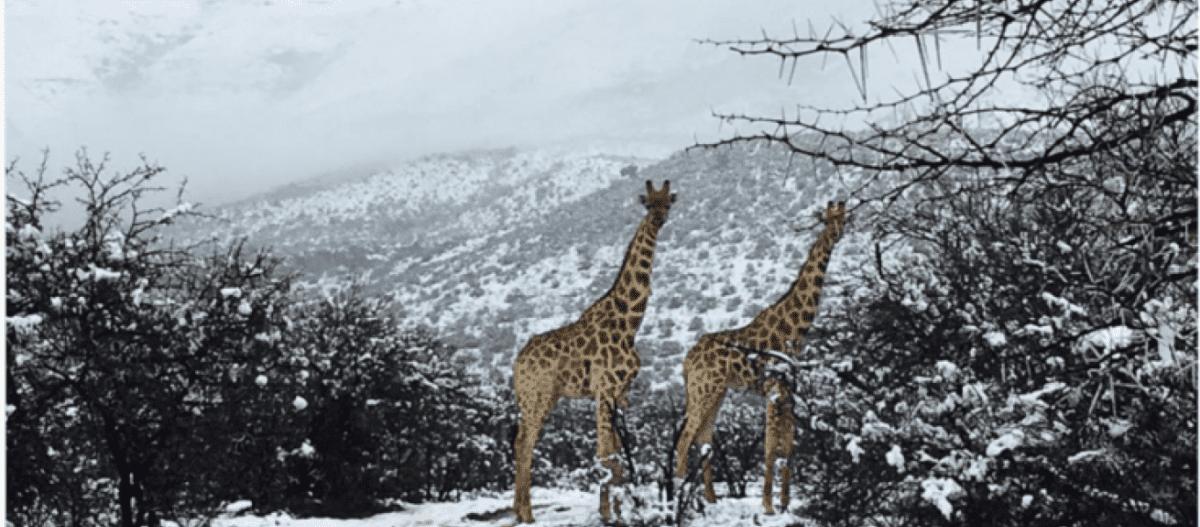 Νότια Αφρική: Η απρόσμενη χιονόπτωση ξάφνιασε την άγρια ζωή! (βίντεο)