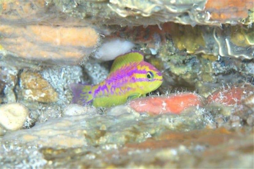 Οι επιστήμονες ανακάλυψαν ένα νέο πολύχρωμο ψάρι