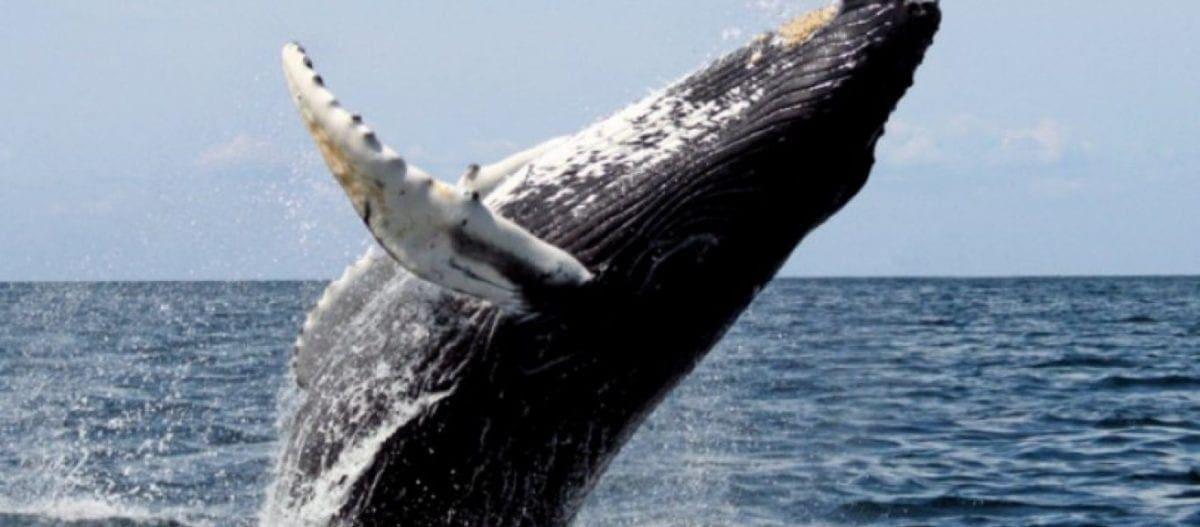 Θηριώδης φάλαινα έκανε το πιο απίθανο δώρο στους ψαράδες που συνάντησε (βίντεο)