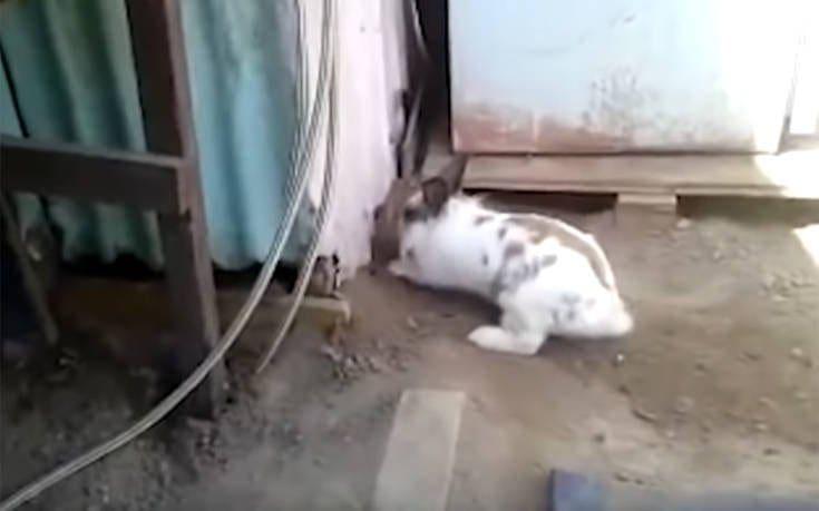 Κουνελάκι σώζει εγκλωβισμένο γατάκι με τον τρόπο που ξέρει καλά