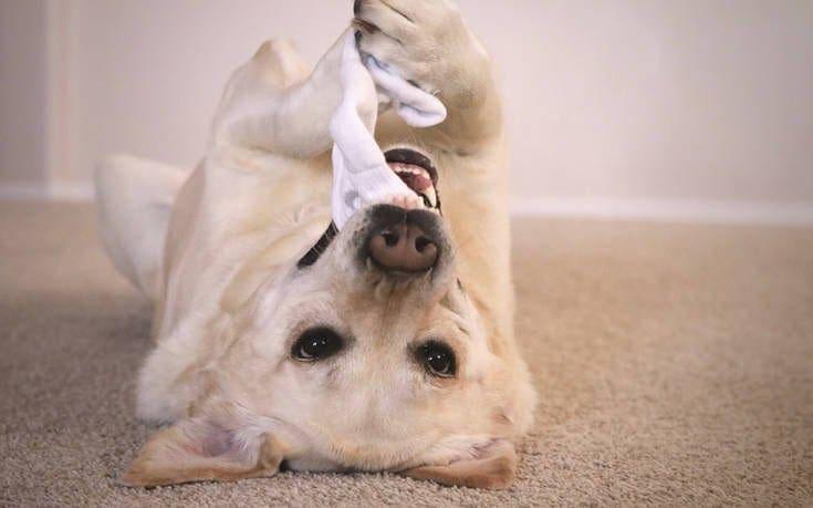 Τα σκυλιά μπορούν να μυρίσουν την ελονοσία στους ανθρώπους