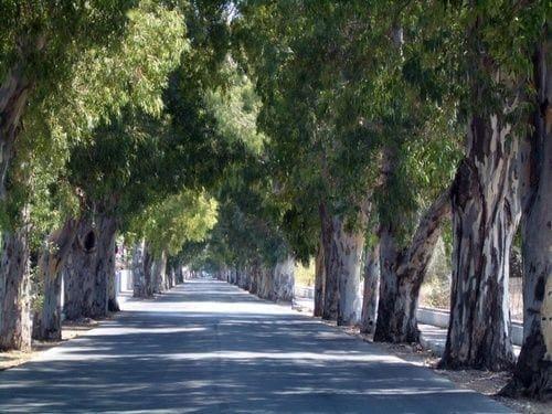 Eucalyptus Street Kolympia