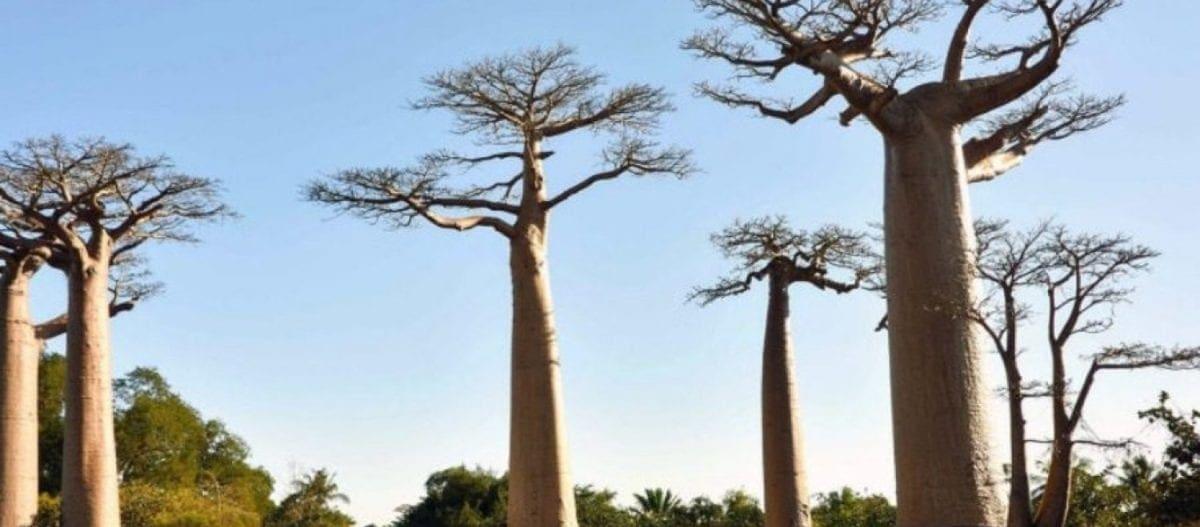 Κλιματική αλλαγή: Ο θάνατος του «δέντρου της ζωής» Μπαομπάμπ