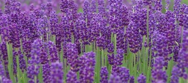 Τα 10 φυτά που διώχνουν τα κουνούπια
