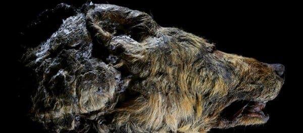 Εκπληκτική ανακάλυψη στη Σιβηρία: Βρήκαν θηριώδη λύκο που ζούσε πριν από 40.000 χρόνια