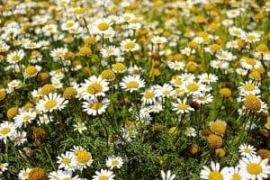 Χαμομήλι : Οφέλη για την υγεία