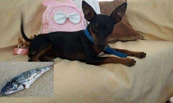 Σκυλάκι έφαγε λαγοκέφαλο στο Ρέθυμνο και σώθηκε από θαύμα