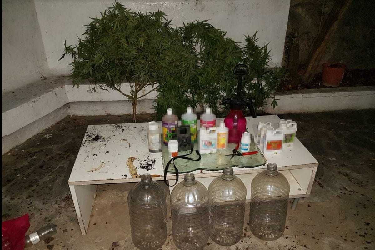 Εντοπίστηκε καλλιέργεια δενδρυλλίων κάνναβης στη Ρόδο – Εκριζώθηκαν 4 φυτά κάνναβης ύψους έως 1,24 μέτρα
