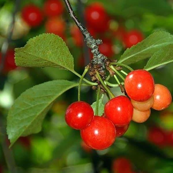 Βύσσινο-Ξινοκέρασο: Το φρούτο που ρίχνει την αρτηριακή πίεση