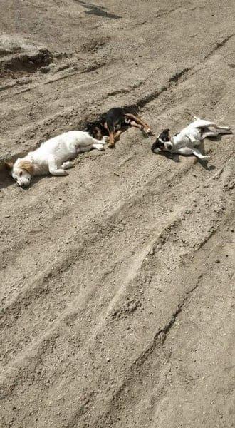 Δυο σκυλιά νέκρα απο φόλα στ' Απόλλωνα – Βγήκαν απο την καραντίνα για να δηλητηριάσουν ζώα