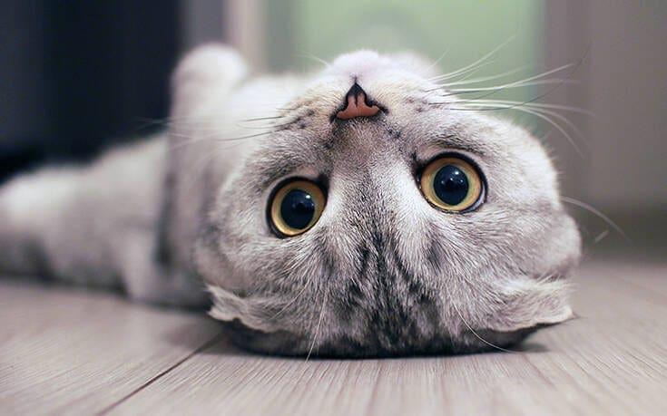 Γάτα «πάλεψε» με τον κορονοϊό και βγήκε νικήτρια Η 9χρονη Παπίλ ανέρρωσε από την COVID-19