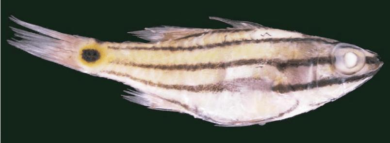 Cheilodipterus novemstriatus